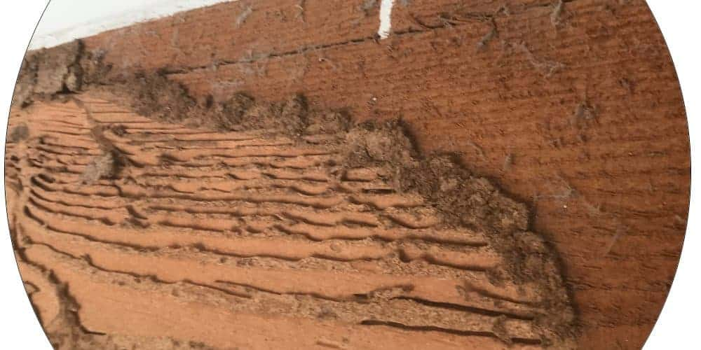 termites and how to prevent them